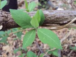 Kamperfoelie blad